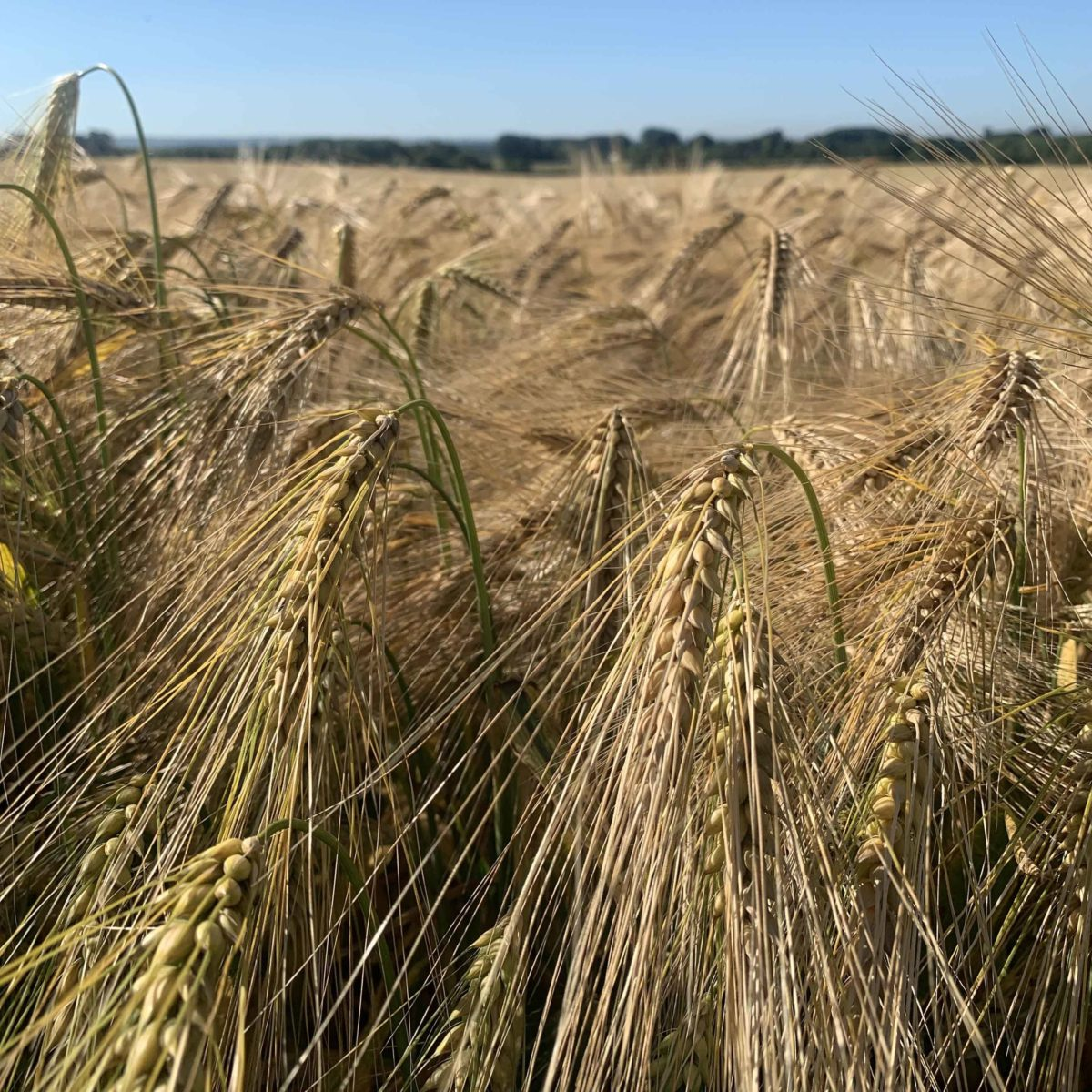 Wheat from walk for journal